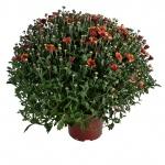 Chrysanthemum multiflora III.jpg