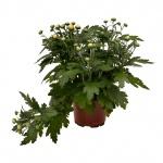 Chrysanthemum multiflora IV.jpg
